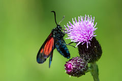 The New Forest Burnet (Zygaena viciae) Stock Photography
