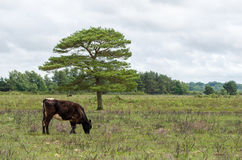 New Forest Cow. A brown new forest cow grazes in the New Forest National Park Stock Photo