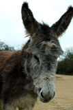 New Forest Donkey. Wild Donkey in the New Forest royalty free stock images