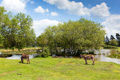New Forest donkies by a lake on a sunny summer day in Hampshire England UK on a summer day Royalty Free Stock Images