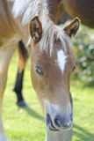 New Forest foal Stock Photos