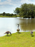 New Forest geese by a lake on a sunny summer day in Hampshire England UK Stock Image