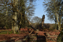New Forest, Hampshire, UK. Trees and fallen trees in the New Forest on a sunny winters day Royalty Free Stock Images