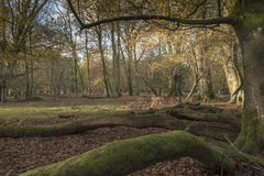 New Forest Hampshire United Kingdom. Knightswood Oak area of New forest Near Lyndhurst Hampshire Stock Photography