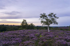 New Forest Heather in Bloom. Late summer heather in bloom at Rockford Common in the New Forest Royalty Free Stock Photo