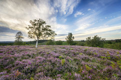 New Forest Heather Stock Images