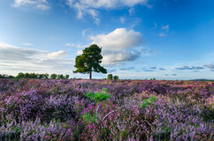 New Forest Heather. A carpet of purple heather in the New Forset National Park in Hampshire Stock Images