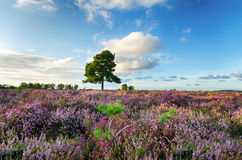 New Forest Heather Royalty Free Stock Photography