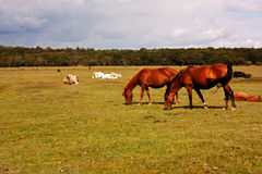 New Forest Ponies. Grazing in the countryside at Brockenhurst Royalty Free Stock Images