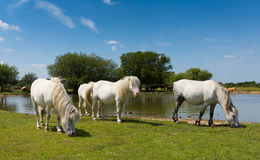New Forest ponies by lake Hampshire England Royalty Free Stock Images