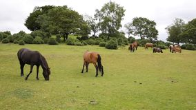 New Forest ponies Lyndhurst Hampshire England UK Stock Image