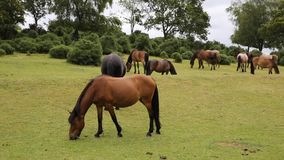 New Forest ponies Lyndhurst Hampshire England UK Royalty Free Stock Photos
