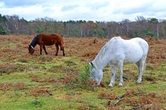 New Forest Ponies, the New Forest, Hampshire, England Royalty Free Stock Photo