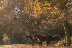 New Forest ponies sheltering under the trees in Autumn  in the New Forest Hampshire. Three New Forest Ponies sheltering under the trees  in Autumn near Ashurst Stock Photos