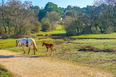 The New Forest Ponies Stock Image