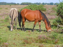 Forest ponies grazing on grass Stock Images