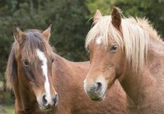 New Forest ponies Royalty Free Stock Photography