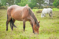 New forest ponies. Wild ponies grazing in the new forest national park in the UK Royalty Free Stock Image