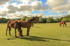 New Forest ponies. Wild ponies grazing in the sunshine in the New Forest, Hampshire, UK Stock Photography