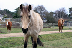 New Forest ponies. Wild ponies in the New Forest, Hampshire, UK Royalty Free Stock Images
