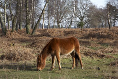 New forest pony Stock Photo