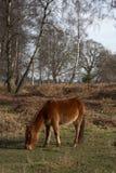 New forest pony Stock Photos
