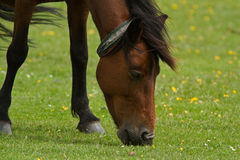 New Forest Pony Royalty Free Stock Image