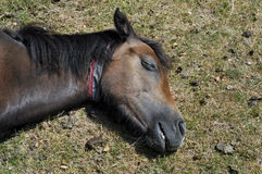 New forest pony asleep England Royalty Free Stock Images