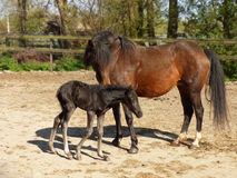 New Forest pony with foal Royalty Free Stock Images