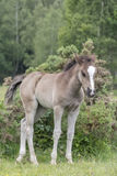 New Forest pony foal. A pony foal in the New Forest, Hampshire UK Stock Images
