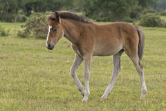 New Forest pony foal Stock Images