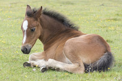 New Forest pony foal Stock Photo