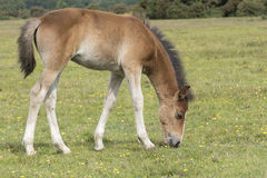 New Forest pony foal. A pony foal in the New Forest, Hampshire UK Stock Photos