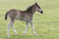 New Forest pony foal. A pony foal in the New Forest, Hampshire UK Royalty Free Stock Photography