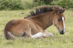 New Forest pony foal. A pony foal in the New Forest, Hampshire UK Royalty Free Stock Images