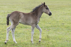 New Forest Pony Foal. A pony foal in the New Forest Hampshire UK Royalty Free Stock Photo