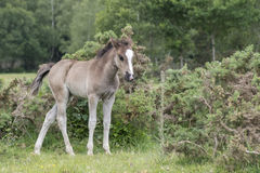 New Forest Pony Foal. A pony foal in the New Forest Hampshire UK Royalty Free Stock Photos