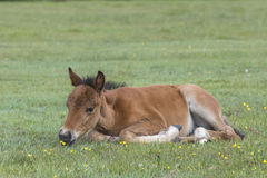 New Forest Pony Foal. A pony foal in the New Forest Hampshire UK Royalty Free Stock Image