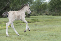 New Forest Pony Foal. A pony foal in the New Forest Hampshire UK Stock Image