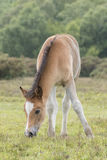 New Forest Pony Foal. A pony foal in the New Forest Hampshire UK Royalty Free Stock Images