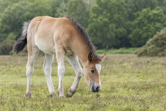 New Forest Pony Foal. A pony foal in the New Forest Hampshire UK Stock Images