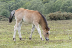 New Forest Pony Foal. A pony foal in the New Forest Hampshire UK Stock Photos