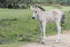 New Forest Pony Foal. A pony foal in the New Forest Hampshire UK Royalty Free Stock Photography