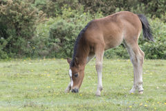 New Forest Pony Foal. A pony foal in the New Forest Hampshire UK Stock Photo