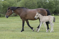 New Forest Pony Foal with mother. A pony foal with its mother in the New Forest Hampshire UK Royalty Free Stock Images