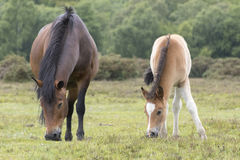 New Forest Pony Foal with mother. A pony foal with its mother in the New Forest Hampshire UK Stock Photos