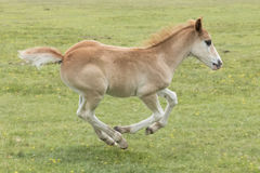 New Forest Pony Foal running. A pony foal in the New Forest Hampshire UK running Stock Image