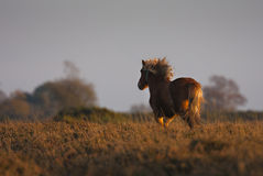New Forest Pony Stock Photography