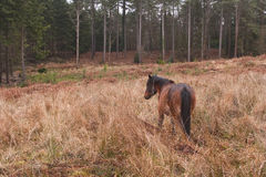 New Forest Pony Royalty Free Stock Images