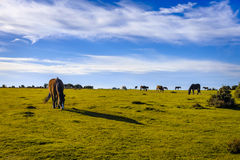 New Forest Pony Grazing Royalty Free Stock Photo